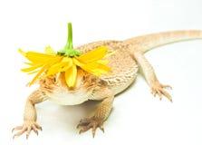 蜥蜴在空白背景的pogona viticeps 库存照片