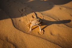 蜥蜴在黄沙的沙漠 图库摄影