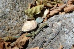 蜥蜴坐石头 免版税库存图片