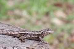 蜥蜴多刺的得克萨斯 免版税库存照片