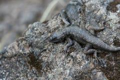 蜥蜴岩石晒黑 库存图片