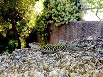 蜥蜴是口袋鳄鱼 免版税库存图片