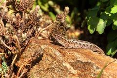 蜥蜴是激昂在石头 一个晴天在庭院里 狩猎蜥蜴 库存图片