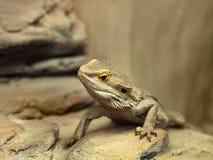 蜥蜴有胡子的龙蜥蜴 库存图片