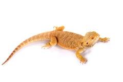 蜥蜴有胡子的龙蜥蜴 库存照片