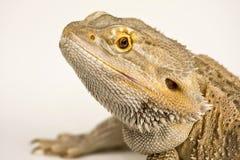 蜥蜴有胡子的龙 免版税库存照片