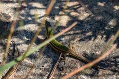 蜥蜴本质上戈佐岛马耳他 免版税库存图片