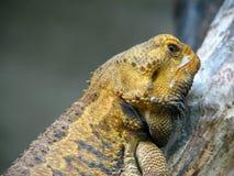 蜥蜴注意 免版税库存图片