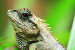 蜥蜴泰国发现 库存照片