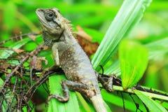 蜥蜴泰国发现 库存图片