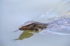 蜥蜴监控程序游泳 库存照片