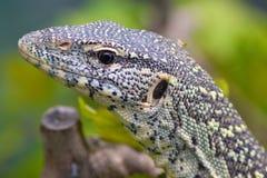 蜥蜴监控程序 库存图片