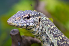 蜥蜴监控程序 免版税库存照片