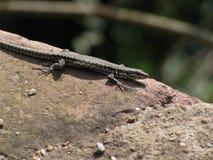 蜥蜴类小 免版税库存图片