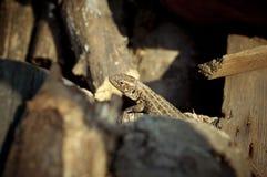 蜥蜴类 免版税库存照片
