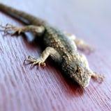 蜥蜴红色木头 免版税库存图片