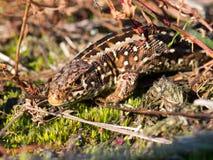 蜥蜴纵向沙子 免版税图库摄影