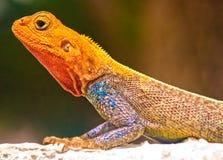 蜥蜴肯尼亚人岩石 免版税库存照片