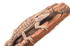 蜥蜴背景有胡子的一白色 免版税库存图片