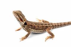蜥蜴背景有胡子的一白色 图库摄影