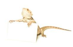 蜥蜴藏品看板卡在手中在白色 免版税库存照片