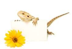 蜥蜴藏品看板卡在手中在白色 免版税库存图片