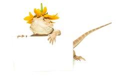 蜥蜴藏品看板卡在手中在白色 库存照片