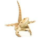 蜥蜴藏品看板卡在手中 免版税图库摄影