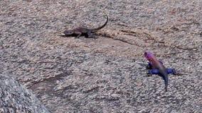 蜥蜴蜥蜴联接 影视素材