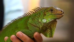 蜥蜴蜥蜴-爬行动物的一个共同的种类在亚洲 股票视频