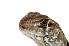 蜥蜴蝴蝶蜥蜴 免版税库存图片