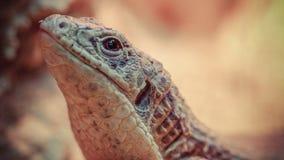 蜥蜴被镀的苏丹 免版税库存图片