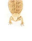 蜥蜴递在尾标的pogona viticeps 库存照片