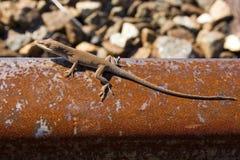 蜥蜴铁路运输生锈了跟踪 免版税库存照片