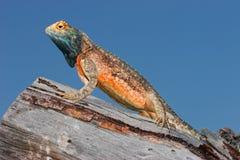 蜥蜴陆运 免版税库存照片