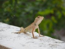 蜥蜴,小的鬣鳞蜥 库存照片