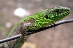 蜥蜴4 库存照片