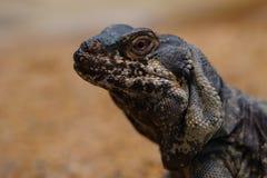 蜥蜴iguan chuckwalla大型蜥蜴obesus 图库摄影