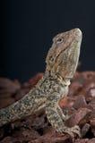 蜥蜴lehman s 库存图片