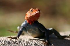 蜥蜴lizzard 免版税库存图片