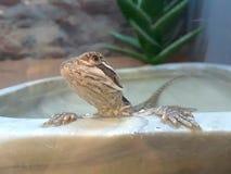 蜥蜴petco浴 库存图片