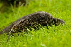 蜥蜴s tonque 免版税图库摄影