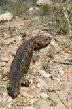 蜥蜴shingleback 库存图片