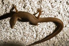 蜥蜴skink 免版税库存照片