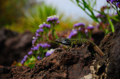蜥蜴tenerife 库存图片