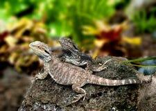 蜥蜴tuatara 免版税库存图片