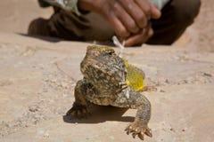 蜥蜴作为宠物 库存照片