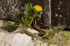 蜥蜴和蒲公英 库存图片