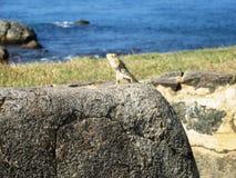 蜥蜴在加勒在斯里兰卡 免版税库存照片