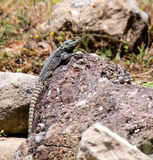 蜥蜴在土耳其的自然环境里 免版税图库摄影